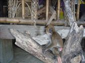 monkey theif: by bear, Views[205]