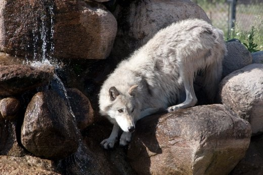 The summer morning is getting warmer by the minute and running around makes one very thirsty. This gorgeous wolf stopped to take a drink before rejoining its pack for some harmless playtime.