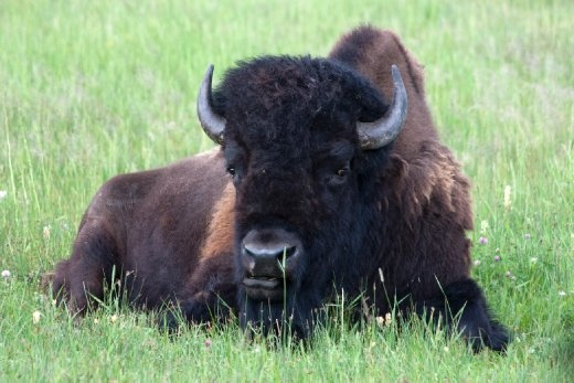 As the day was coming to an end, I caught a lone bison resting after an afternoon snack.