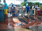 Pelicans waiting for a feed at the fish market: by bec-simon, Views[282]