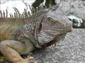 Giant Land Iguana: by bec-simon, Views[566]