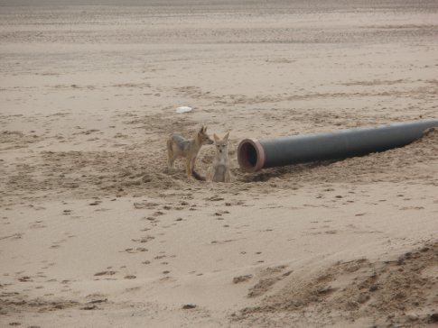 Some Jackal pups using the pipe as a den