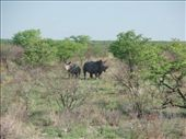 Two white rhino: by bec-simon, Views[316]