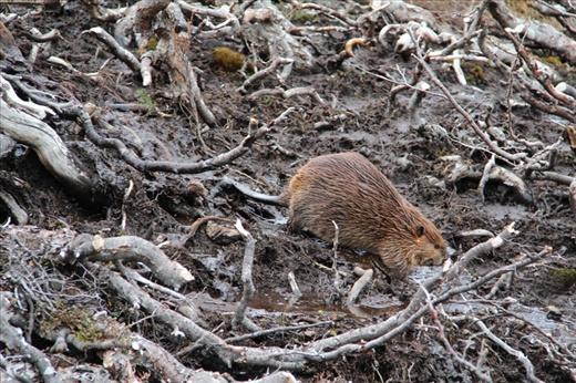 Beaver on Guanaco Trail, Tierra Del Fuego NP