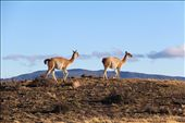 Guanacos in Torres del Paine National Park: by beckandphil, Views[314]