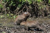 Capybara - the super sized rodents of South America: by beckandphil, Views[674]