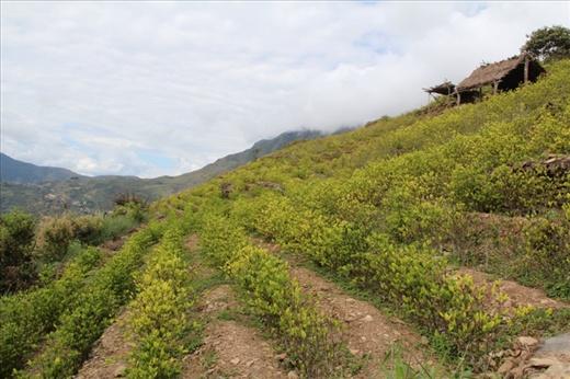 Coca plantation in the Yungas near Coroico, Bolivia