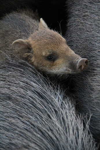 A baby Peccary (wild pig) in the Santa Cruz zoo