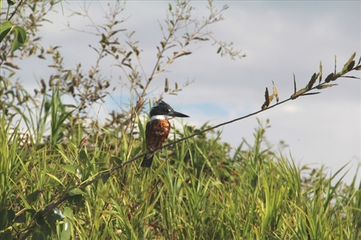 A kingfisher in the Pantanal, Brazil