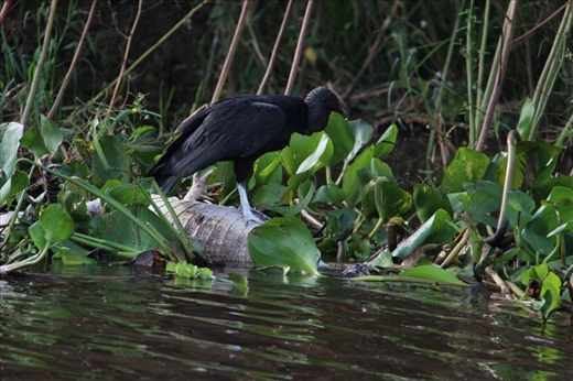 A black vulture eating a dead alligator in the Pantanal, Brazil