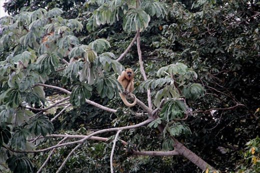 A howler monkey in the trees by the River Paraguay, in the Pantanal