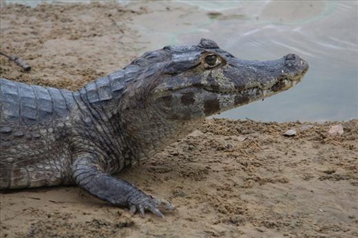 Alligator in the Pantanal