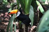 Toucan in walk through aviary in Parque de Aves, Brazil: by beckandphil, Views[231]