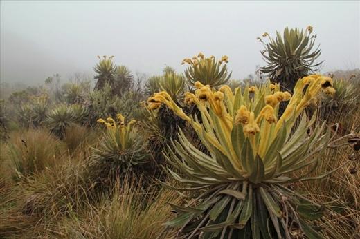 Freaky furry flowers, called Frailejón, at Laguna Iguaque, at 3600m in the mountains near Villa de Leyva