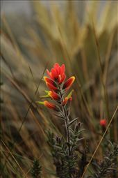 Another flower at Laguna Iguaque