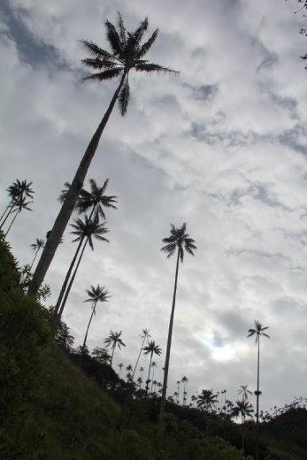 Wax Palm trees in Valle de Cocora, near Salento