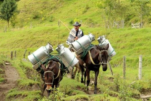 Local milk transportation in the coffee region
