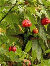 Hummingbird, Valle de Cocora, near Salento: by beckandphil, Views[329]