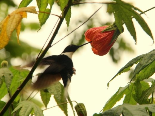 Hummingbird, Valle de Cocora, near Salento