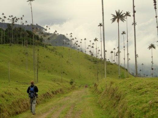 Wax Palms in Valle de Cocora