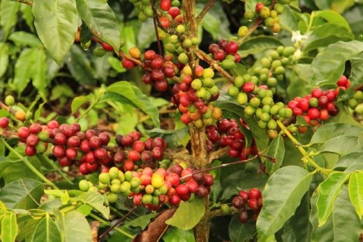 Coffee ready for picking