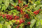 Coffee ready for picking : by beckandphil, Views[217]