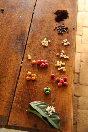 All the different stages of coffee bean from flower, to bean, to roasted, to ground and ready to go!