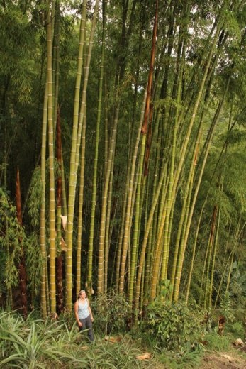 They also grow bamboo for building materials on the coffee plantation
