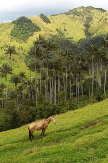 Horse and wax palms, Carbonera Valley