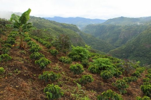 Coffee plantation in the canyon near San Agustin