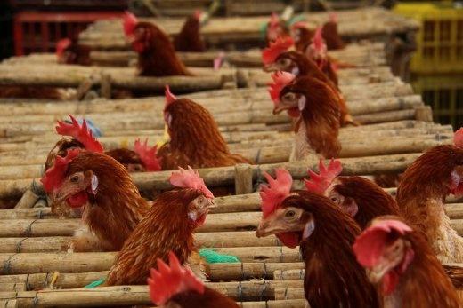Chooks, Otavalo animal market