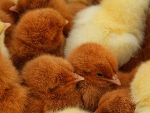 Little chooks for sale, Otavalo animal market