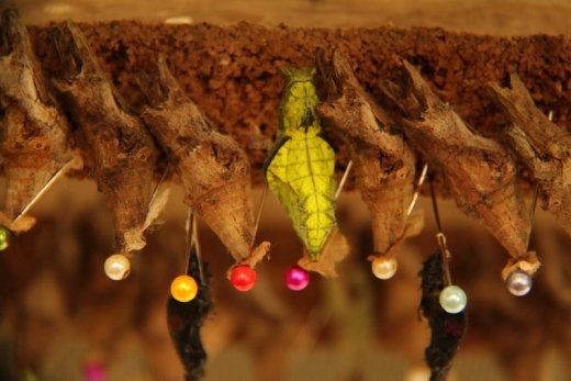 Mindo butterfly farm - Chrysalises pinned up ready to hatch