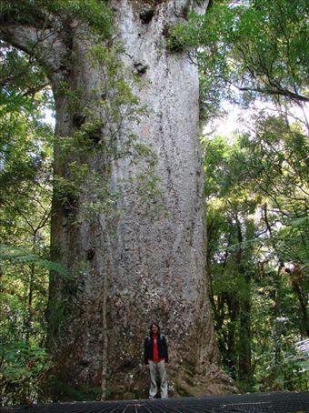 Kauri tree - massive 2000 year old tree, Northland
