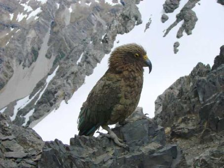 Cheeky Kea at the summit of Avalanche Peak, Arthurs Pass National Park