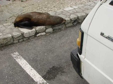 This seal has possibly strayed too far from the Seal Colony, Kaikoura