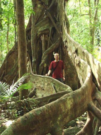 Buttress roots, Daintree Rainforest