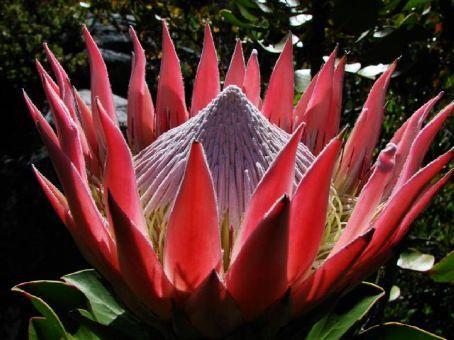 Protea Flower on Table Mountain