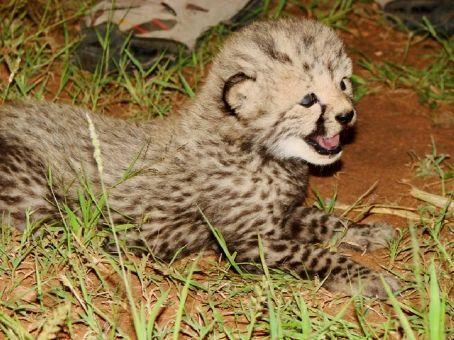 Baby cheetah (1 week old?), Cheetah Park, Namibia