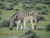 Zebras at Etosha National Park, Namibia: by beckandphil, Views[381]