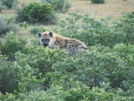 Hyena at Etosha NP, Namibia