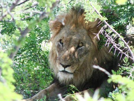 Lion at Etosha NP, Namibia