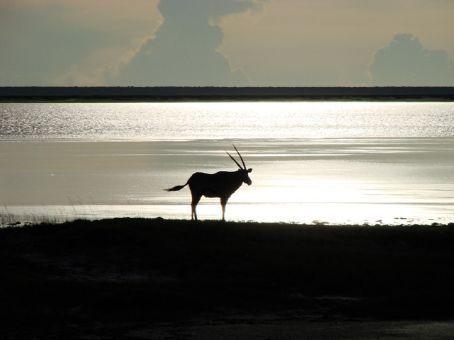 Oryx at sunset, Etosha NP, Namibia