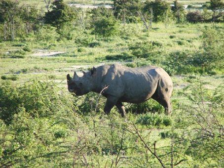 Rhino at Etosha NP, Namibia