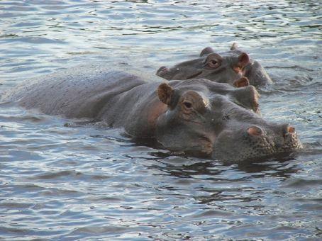 Hippos in Chobe NP, Botswana