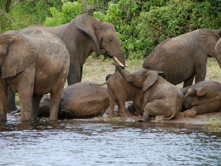 Elephants in Chobe NP, Botswana