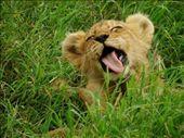 Lion cub, Ngorongoro Crater NP: by beckandphil, Views[323]
