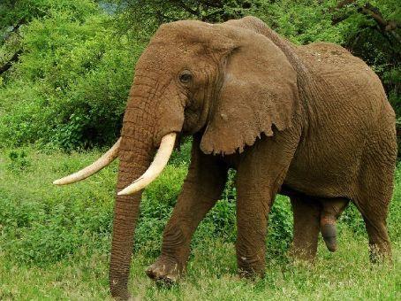 Definitely a male elephant, Lake Manyara NP