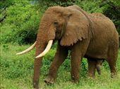Definitely a male elephant, Lake Manyara NP: by beckandphil, Views[292]
