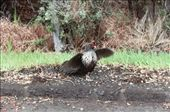 I believe this is a kalij pheasant.  One of many introduced species.  Hawai'i Volcanoes Nat'l Park: by befree, Views[158]